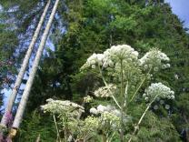 image gianthogweed245741_960_720.jpg (0.3MB)